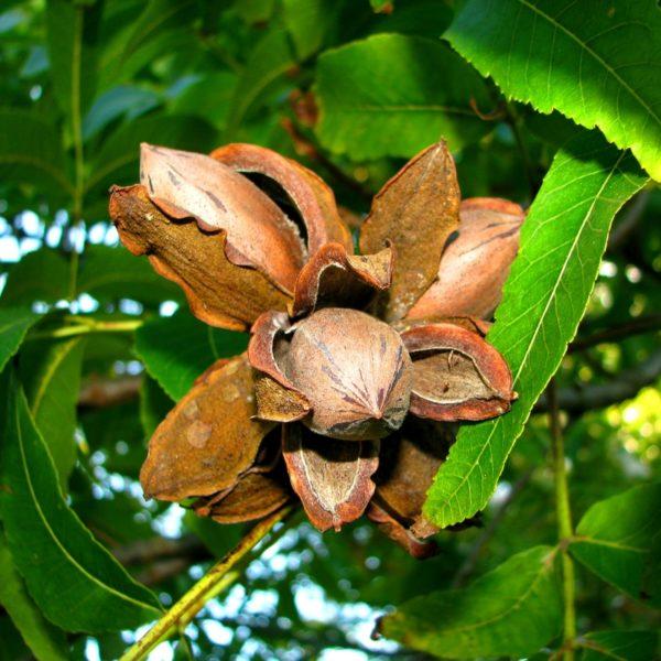 Desirable Pecan Tree I O Ison S Nursery Amp Vineyard