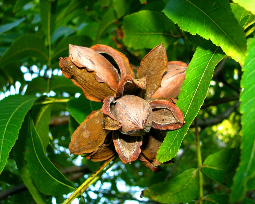Desirable Pecan Tree. Heaver bearer. Nuts larger than Stuart. Pollinate with Stuart. 39 nuts per lb. Zones 7-9.
