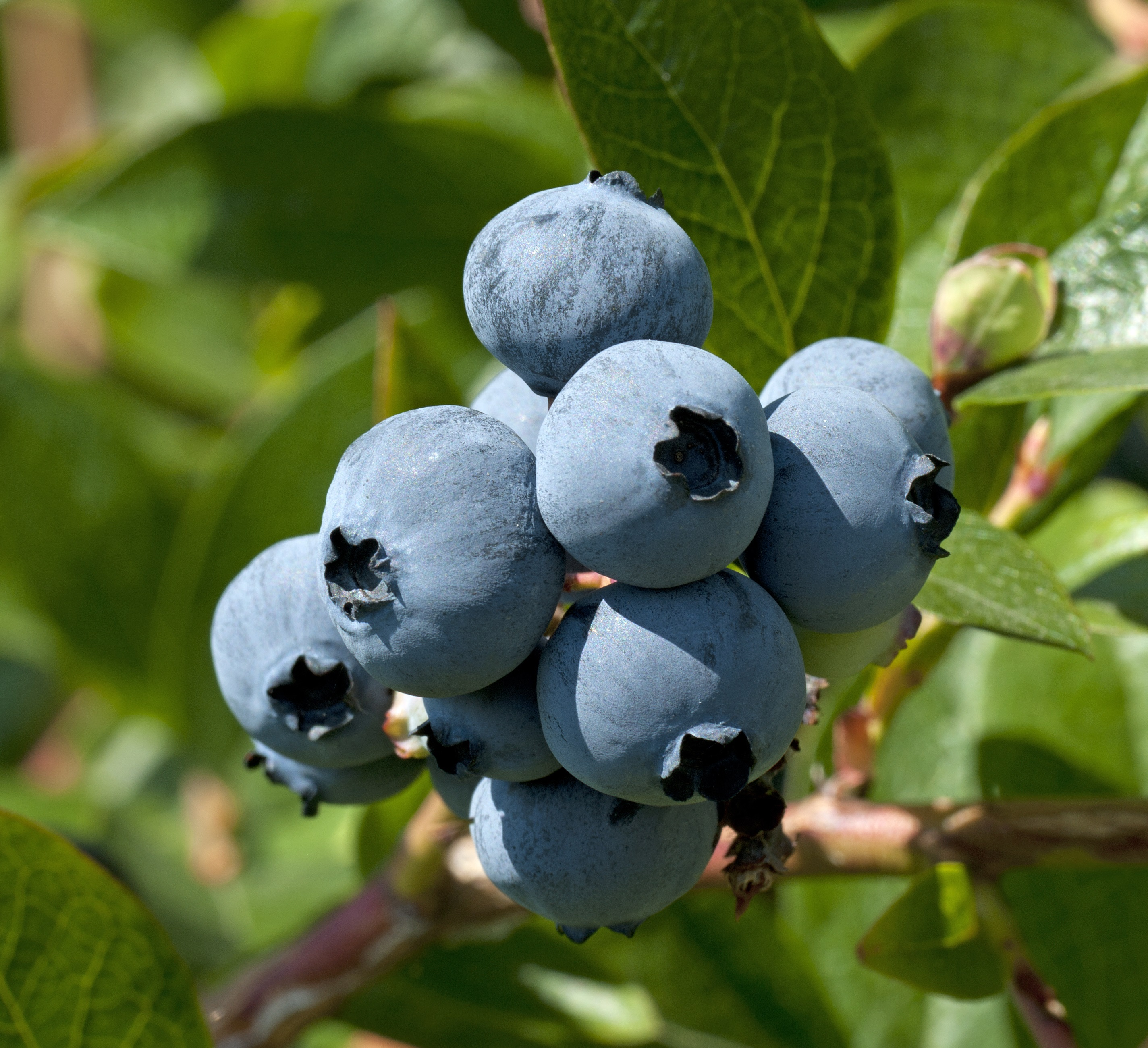 Farthing Southern Highbush Blueberry. Very large fruit with excellent firmness and sweet flavor. Produces early season. Zones 7-10