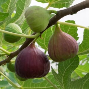 I/O Fig Trees