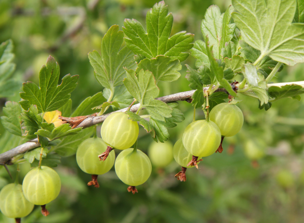 Specialty Berry Plants