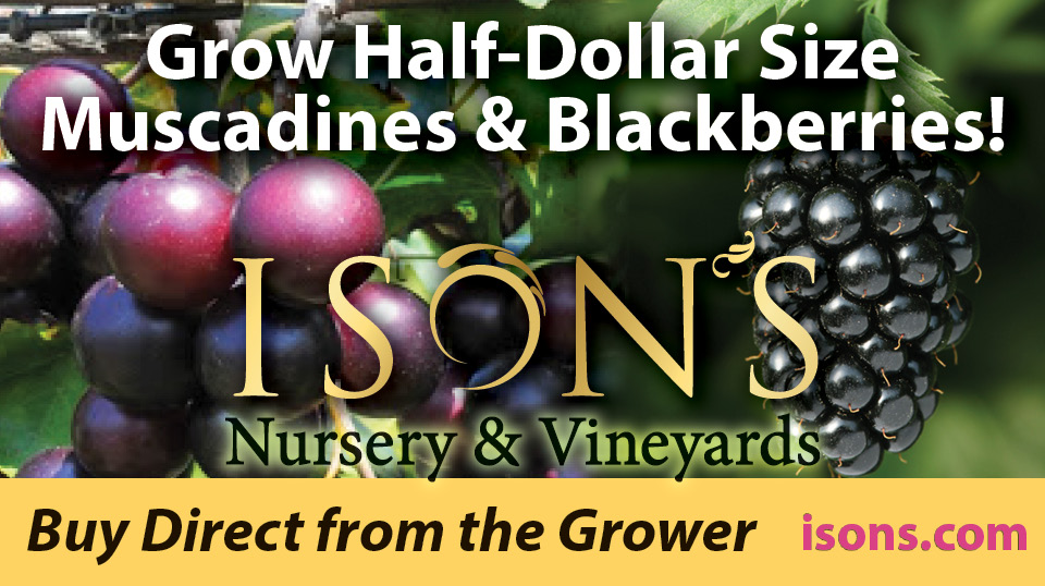 https://www.isons.com/wp-content/uploads/2016/11/Grow-half-dollar-size-muscadine-blackberry.jpg