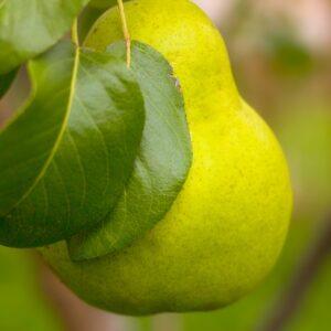 I/O Pear Trees