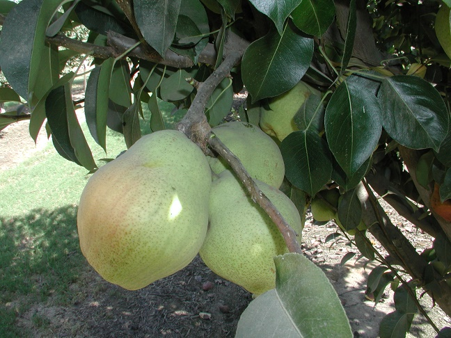 Kieffer Pear Tree. Self-fertile. Coarse, crisp, juicy, white flesh. 400 chill hours. Zones 4-9.