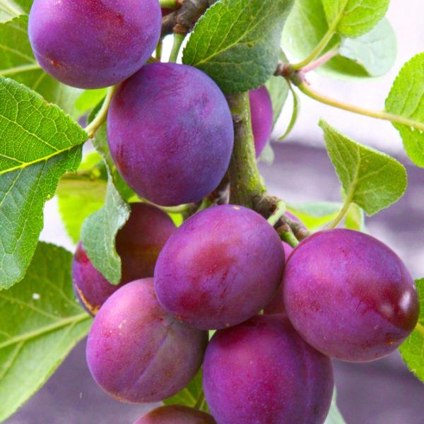 Vineyard Trellis Supplies California