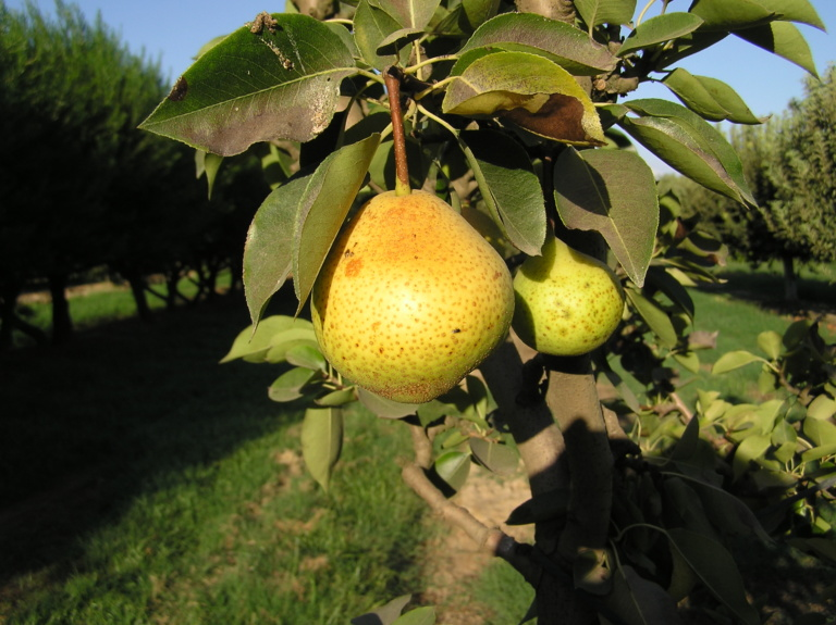 Orient Pear Tree. Large firm fruit. Flesh is juicy, melting and creamy. Good texture. Blight resistant. 350 chill hours. Zones 5-8
