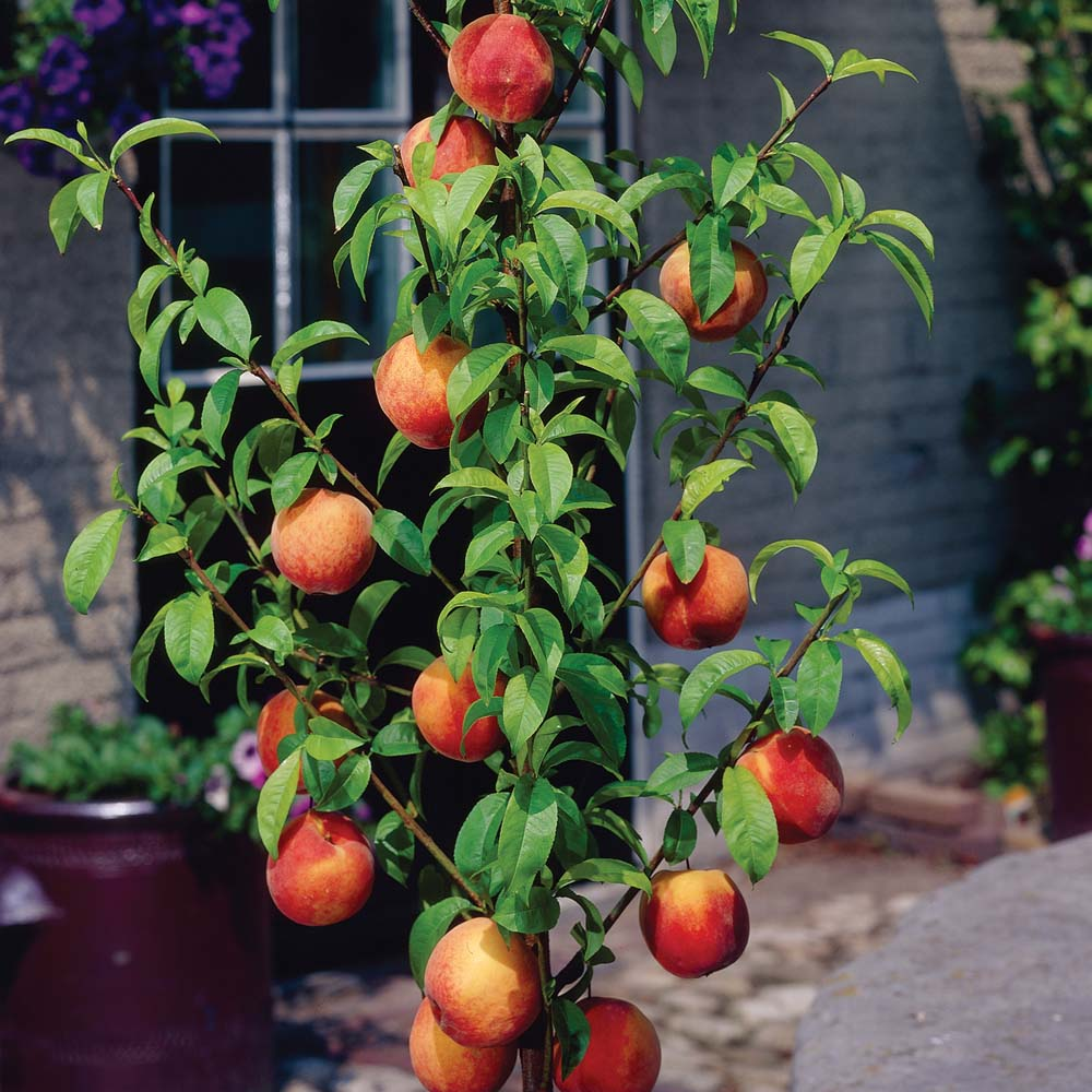 Southern Flame Patio Peach. Produces large fruit with yellow skin overspread with red. Firm, crisp, melting, yellow flesh. Freestone with great aroma. 400 chill hours. Zones 5-9.