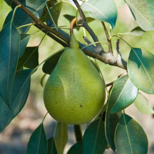 Pineapple Pear Tree I O Ison S Nursery Amp Vineyard