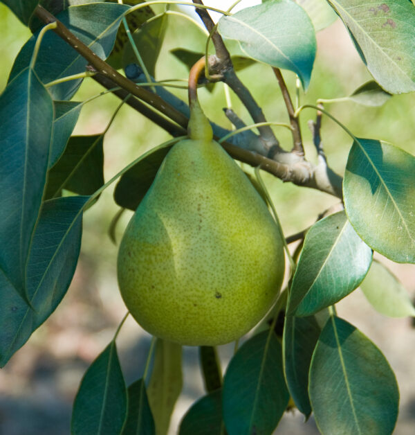 Pineapple Pear Tree. Large fruit. Pineapple flavored flesh. Ripens in August. Fireblight resistant.