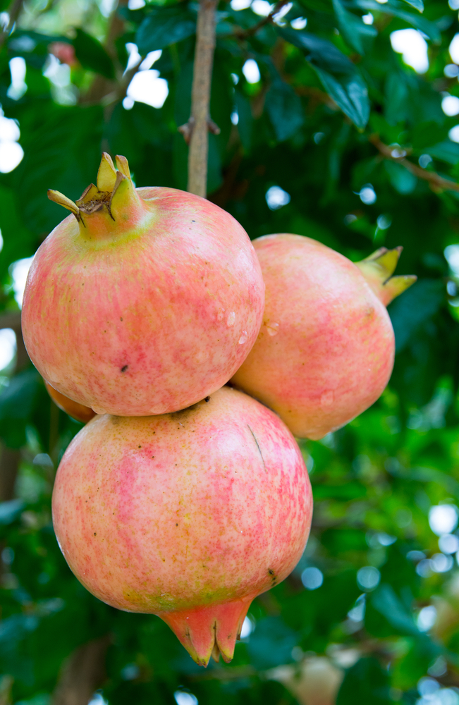 Salavatski Pomegranate. Salavatski is One of Our Most Requested Varieties! Very large pale red fruit, with red arils and sweet/tart juice. Very cold hardy and very productive. Ripens late Sept. Zones 6-9.