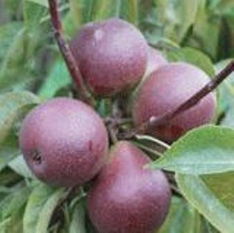 Seckel Pear Tree. Small to medium size. Extraordinary flavor. Also known as sugar pear. Ripens late Sept. 500 chill hours. Zones 5-8