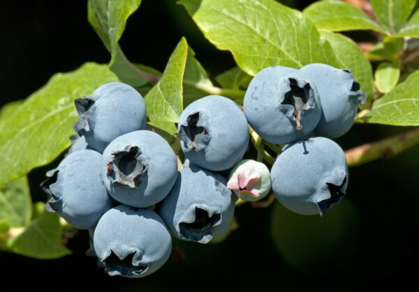 Star High-bush Blueberry. Very large fruit. sweet flavor and firm. Ripens early season. Zones 6-9.