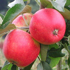 Pink Lady Apple Tree, Very popular apple. Snappy tartness with crisp, sweet flavor. Ripens late Sept. 400 chill hours. Zones 6-9. Code B.