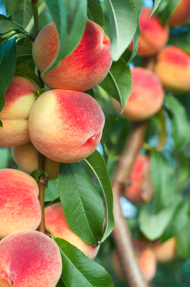 Bonanza Patio Peach Tree. Produces delicious peaches. Perfect for containers. Only grow to 5-6'. 450 chill hours. Zones 5-9.