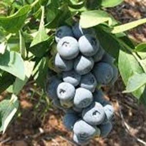 Blueberry-Krewer-300x300