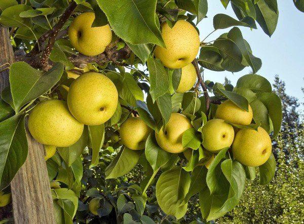 Asian pear tree height girl. Hope