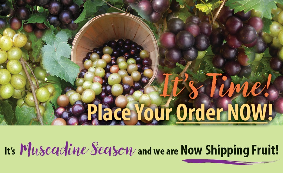 https://www.isons.com/wp-content/uploads/2018/09/Muscadine-Fruit-Shipping-Order-Now-700x428.jpg