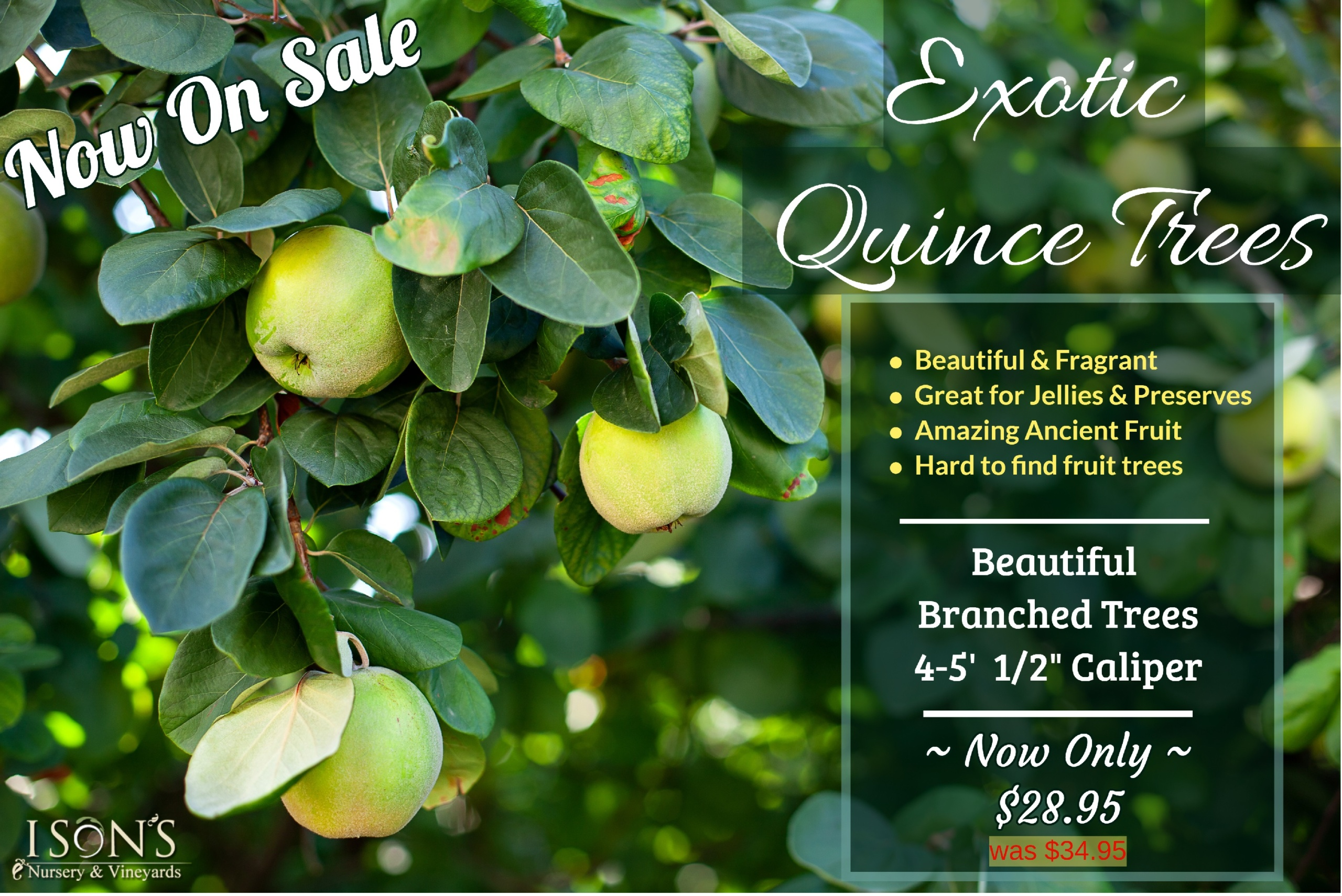 https://www.isons.com/wp-content/uploads/2020/02/Quince-Tree-Banner-scaled.jpg